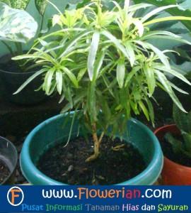 Gambar Foto Cara Merawat Bunga Zodia dalam Pot