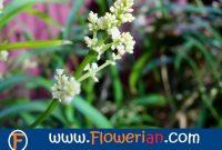 Gambar Foto Cara Merawat Bunga Zodia di Halaman