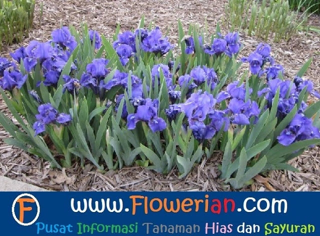 Gambar Foto Bagaimana Cara Menanam Bunga Iris