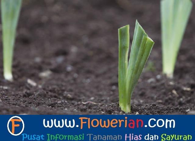 Gambar Foto COntoh Cara Menanam Bunga Iris Yang Baik