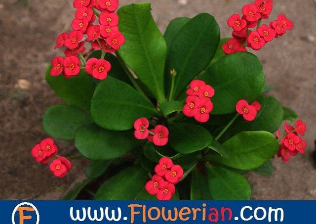 Gambar Foto Cara Menanam Bunga Euphorbia Yang Baik dan Benar