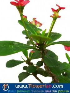 Gambar Foto Cara Menanam Bunga Euphorbia di Rumah