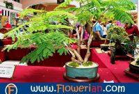 Gambar Foto Cara Menanam Bunga Flamboyan Untuk Bonsai