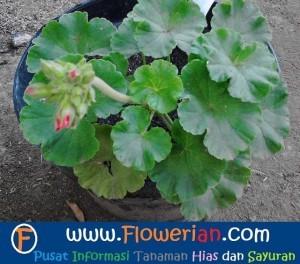 Gambar Foto Cara Menanam Bunga Geranium Biar subur