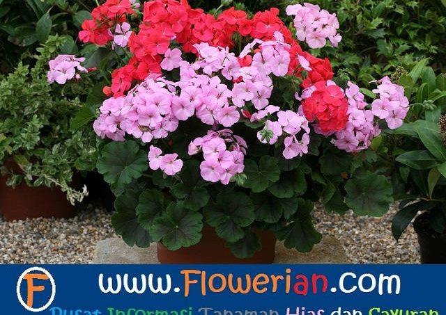 Gambar Foto Cara Menanam Bunga Geranium Untuk Mengusir Nyamuk