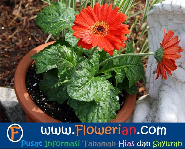 Gambar Foto Cara Menanam Bunga Gerbera Cepat Berbunga