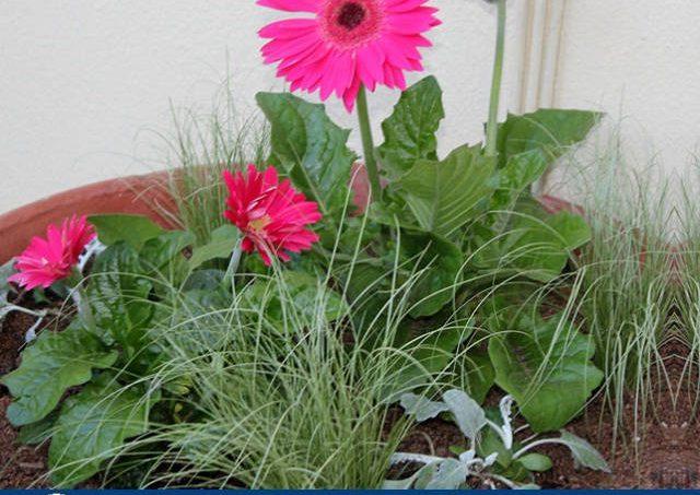 Gambar Foto Cara Menanam Bunga Gerbera Dengan Bunga Lainnya