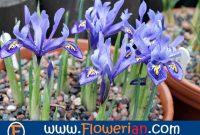 Gambar Foto Cara Menanam Bunga Iris Cepat Berbunga