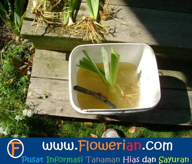 Gambar Foto Cara Menanam Bunga Iris Cuci Akar