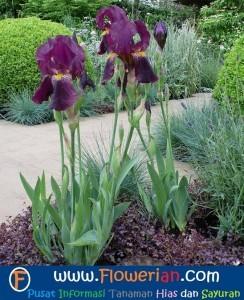 Gambar Foto Cara Menanam Bunga Iris Yang Baik dan Benar