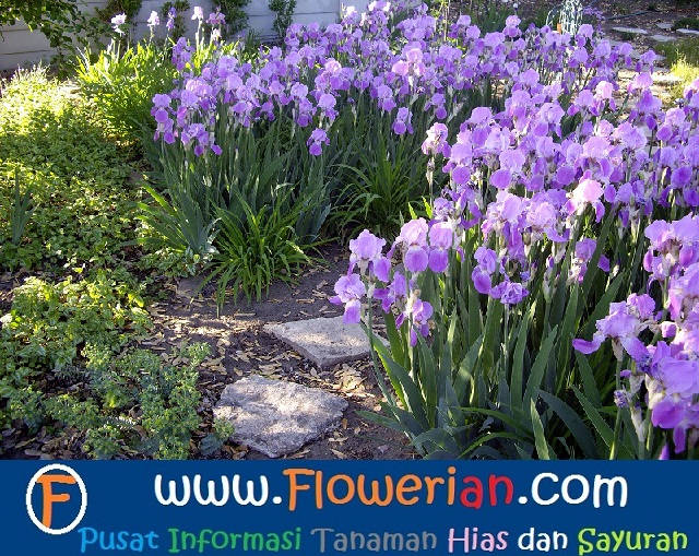 Gambar Foto Cara Menanam Bunga Iris di Halaman