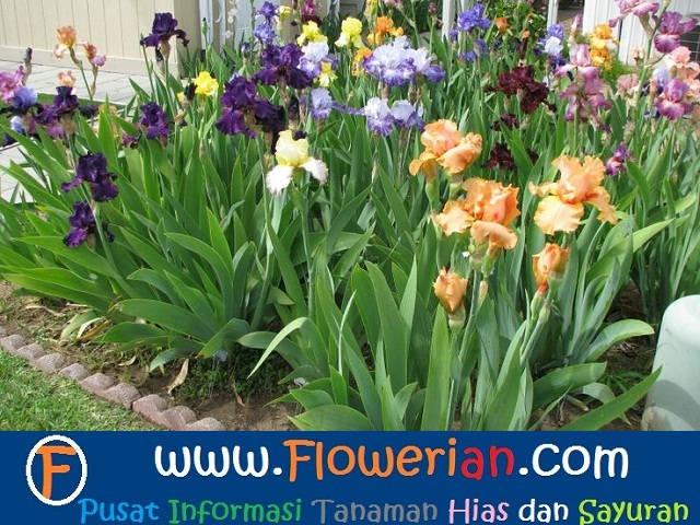 Gambar Foto Cara Menanam Bunga Iris di Taman