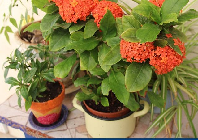 Gambar Foto Cara Menanam Bunga Ixora Sebagai Hiasan