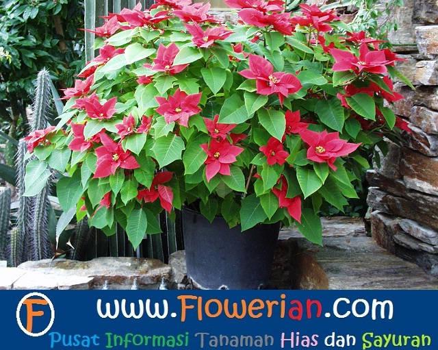 Gambar Foto Cara Menanam Bunga Kastuba dalam Pot