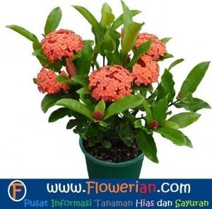 Gambar Foto Tips Bagaimana Cara Menanam Bunga Ixora