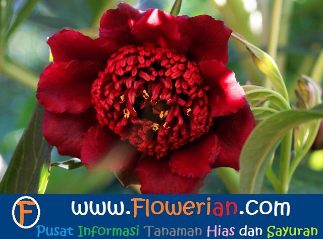 Gambar Foto Bunga Peony Ludlowii Merah