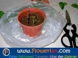 Gambar Foto Cara Menanam Bunga Kertas Dari Batang