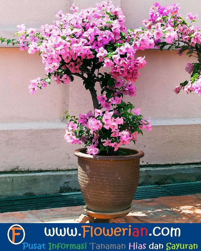 Gambar Foto Cara Menanam Bunga Kertas Untuk Hiasan Halaman
