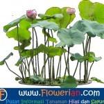 Gambar Foto Cara Menanam Bunga Lotus Air Di Dalam Pot