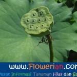 Gambar Foto Cara Menanam Bunga Lotus From Seed