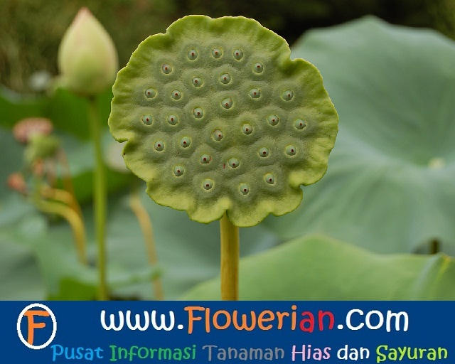 Gambar Foto Cara Menanam Bunga Lotus dari Biji