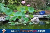 Gambar Foto Cara Menanam Bunga Lotus di Kolam Air