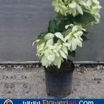 Gambar Foto Cara Menanam Bunga Nusa Indah Putih di Pot