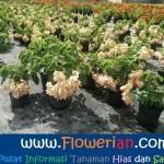 Gambar Foto Cara Menanam Bunga Nusa Indah Untuk Budidaya
