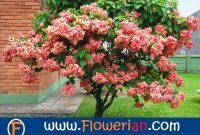 Gambar Foto Cara Menanam Bunga Nusa Indah Untuk Hiasan Rumah