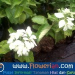 Gambar Foto Cara Menanam Bunga Nusa Indah di Polybag