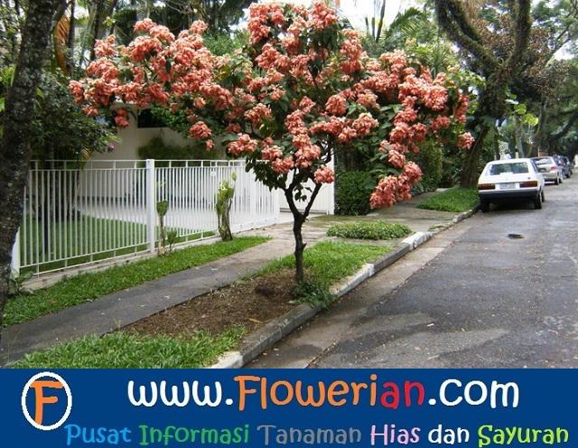 Gambar Foto Cara Menanam Bunga Nusa Indah di Tepi Jalan