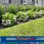 Gambar Foto Cara Menanam Bunga Pecah Seribu Sebagai Pagar Rumah