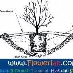 Gambar Foto Cara Menanam Bunga Pecah Seribu Ukur Kedalaman Tanah