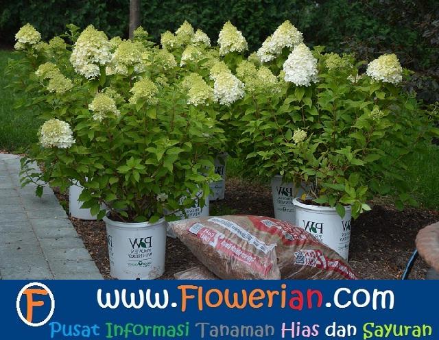 Gambar Foto Cara Menanam Bunga Pecah Seribu Untuk Budidaya