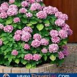 Gambar Foto Cara Menanam Bunga Pecah Seribu Untuk Hiasan Rumah