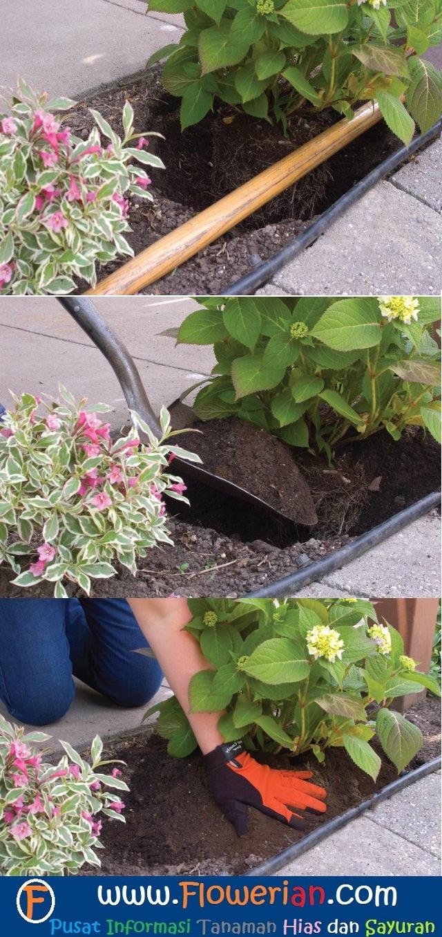 Gambar Foto Cara Menanam Bunga Pecah Seribu dari Polybag