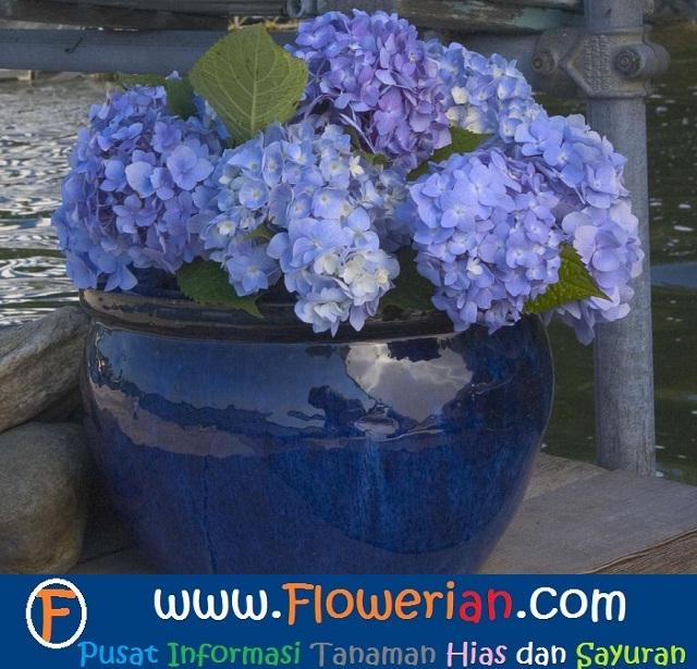 Gambar Foto Cara Menanam Bunga Pecah Seribu di Pasu atau Jambangan Besar