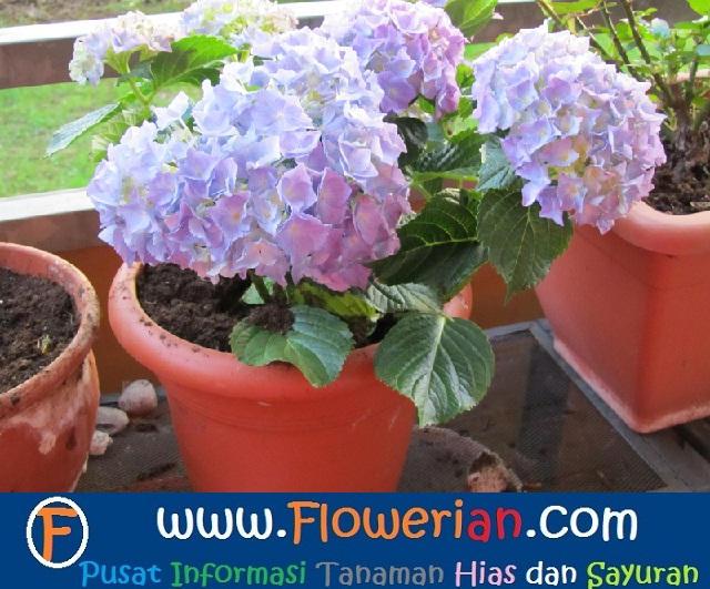 Gambar Foto Cara Menanam Bunga Pecah Seribu di Pot Kecil