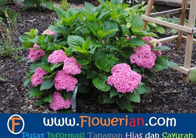 Gambar Foto Cara Menanam Bunga Pecah Seribu di Taman