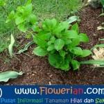 Gambar Foto Cara Menanam Bunga Pecah Seribu di Tanah