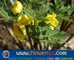 Gambar Foto Cara Menanam Bunga Peony Ludlowii Kuning di Taman