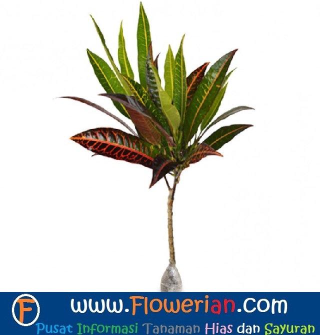 Gambar Foto Cara Menanam Bunga Puring dengan Metode Cangkok