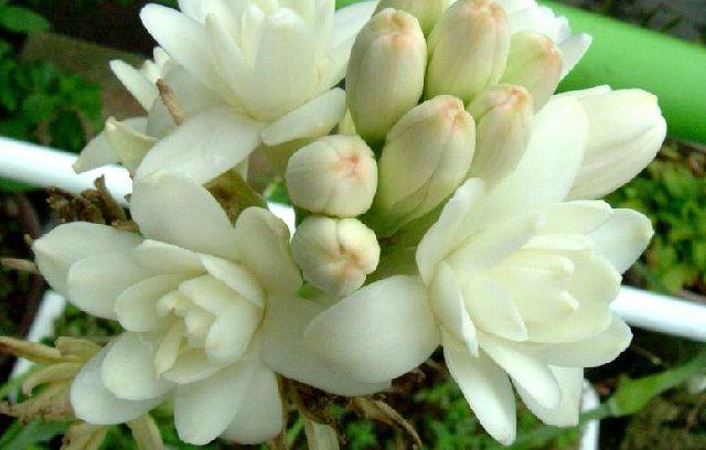 Gambar Foto Cara Menanam Bunga Sedap Malam Agar Cepat Berbunga