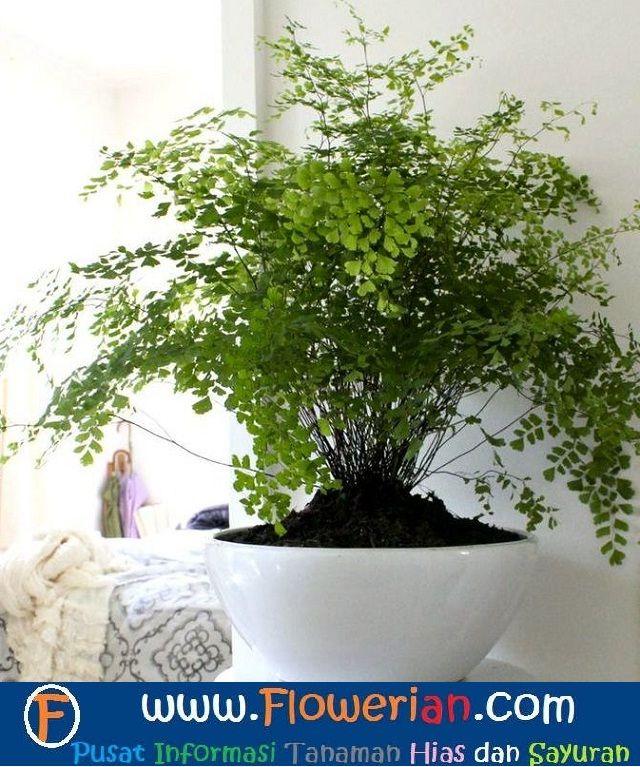 Gambar Foto Cara Menanam Bunga Suplir Di Dalam Rumah