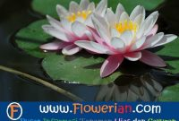 Gambar Foto Bagaimana Cara Menanam Bunga Teratai Agar Berbunga