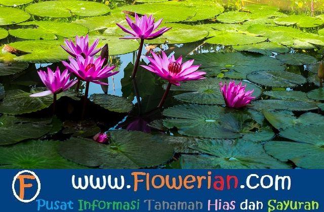 Gambar Foto Cara Menanam Bunga Teratai Air Yang Baik