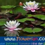 Gambar Foto Cara Menanam Bunga Teratai Liar di Kolam