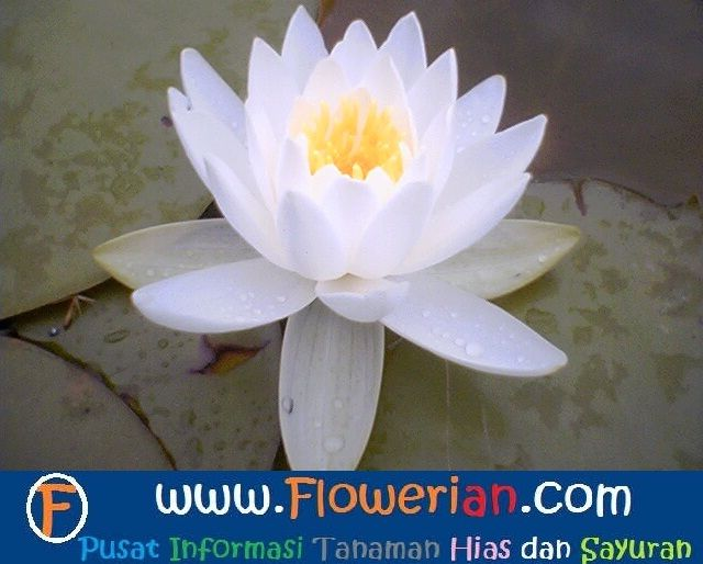 Gambar Foto Cara Menanam Bunga Teratai Putih