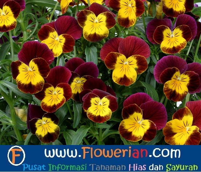 Gambar Foto Cara Menanam Bunga Viola Agar Berbunga