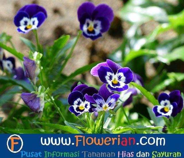Gambar Foto Cara Menanam Bunga Viola Di Halaman